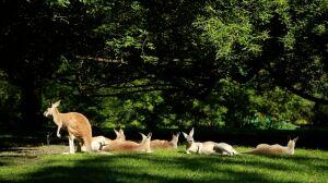 Trochę Australii w Warszawie. Kangury w akcji