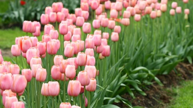 Już sierpień - czas wysadzić tulipany!