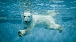 Spragniony towarzystwa niedźwiedź polarny szuka kompana do zabawy